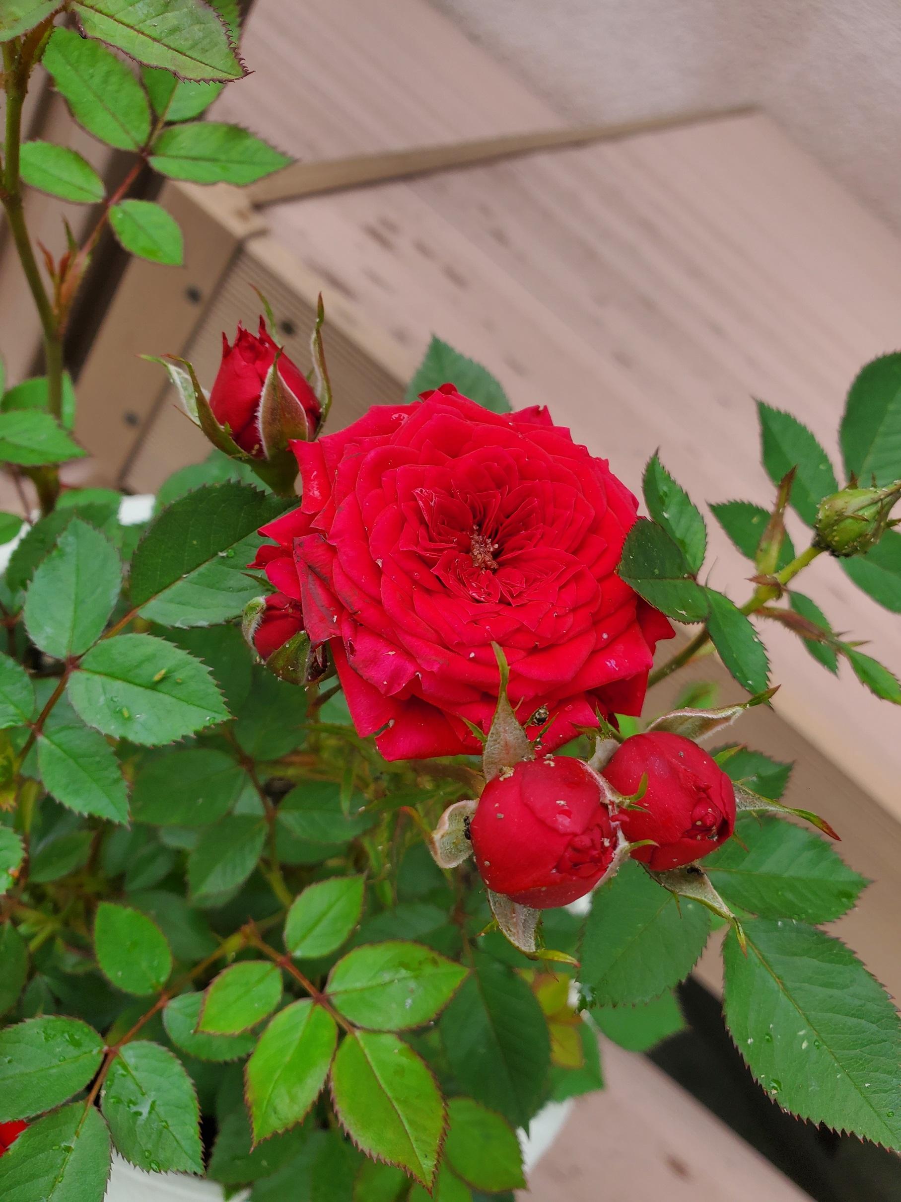 庭に咲くミニバラ